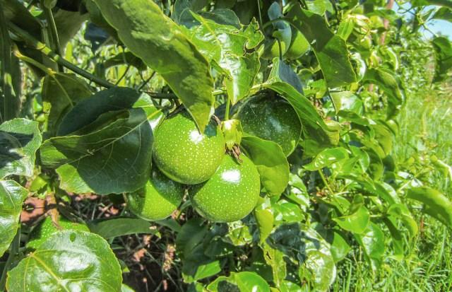 Nyota_organic_farming-6744