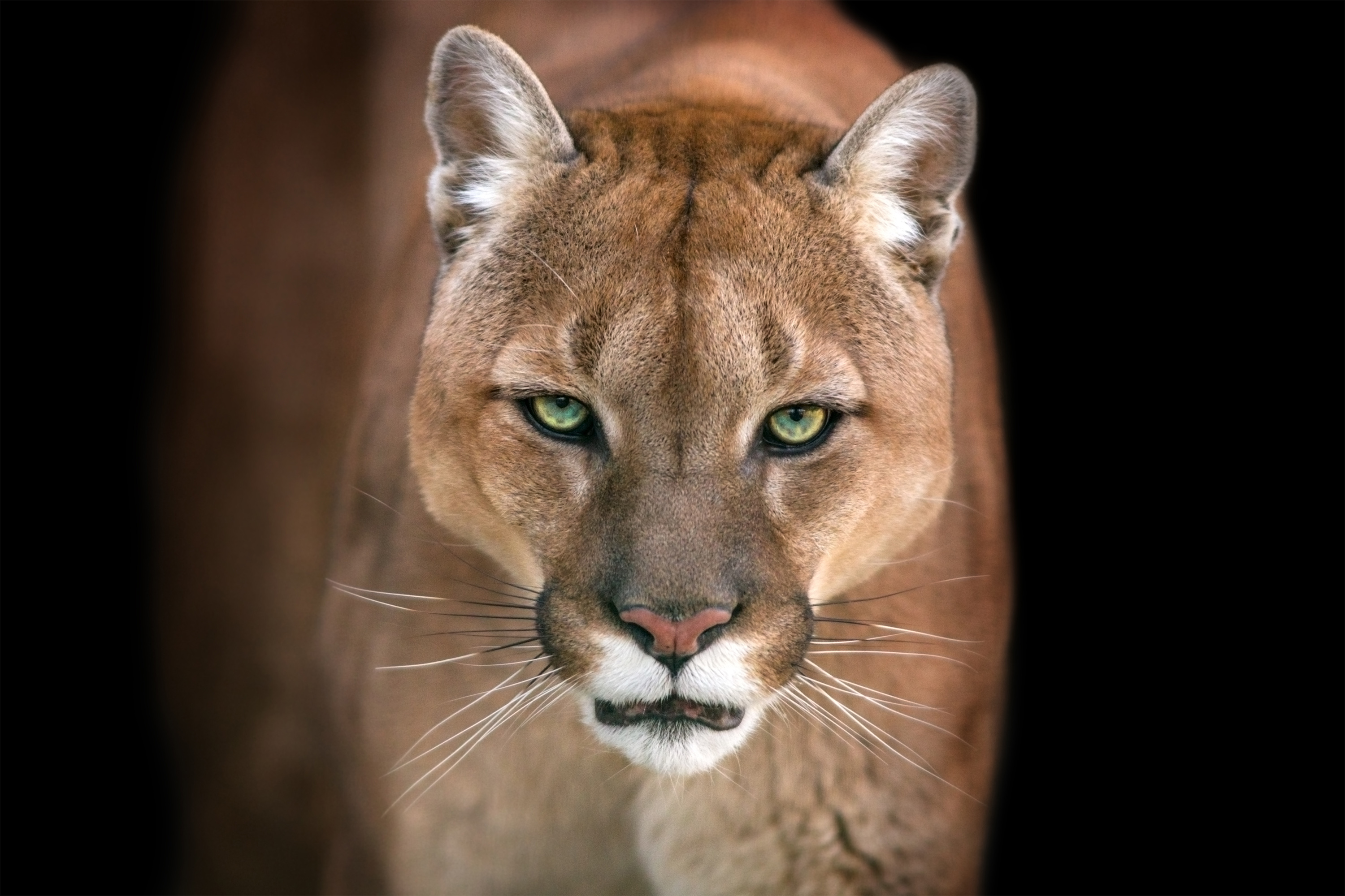 Mountain Lion Snatches Dog From Sleeping Owner S Bedroom