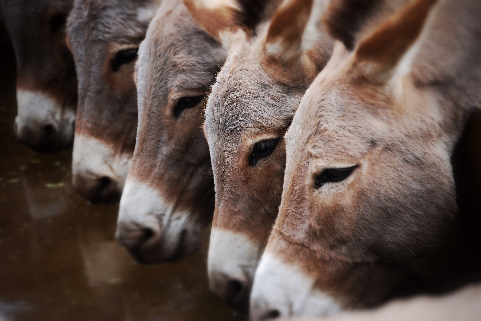 Donkey Count Has Reduced In India