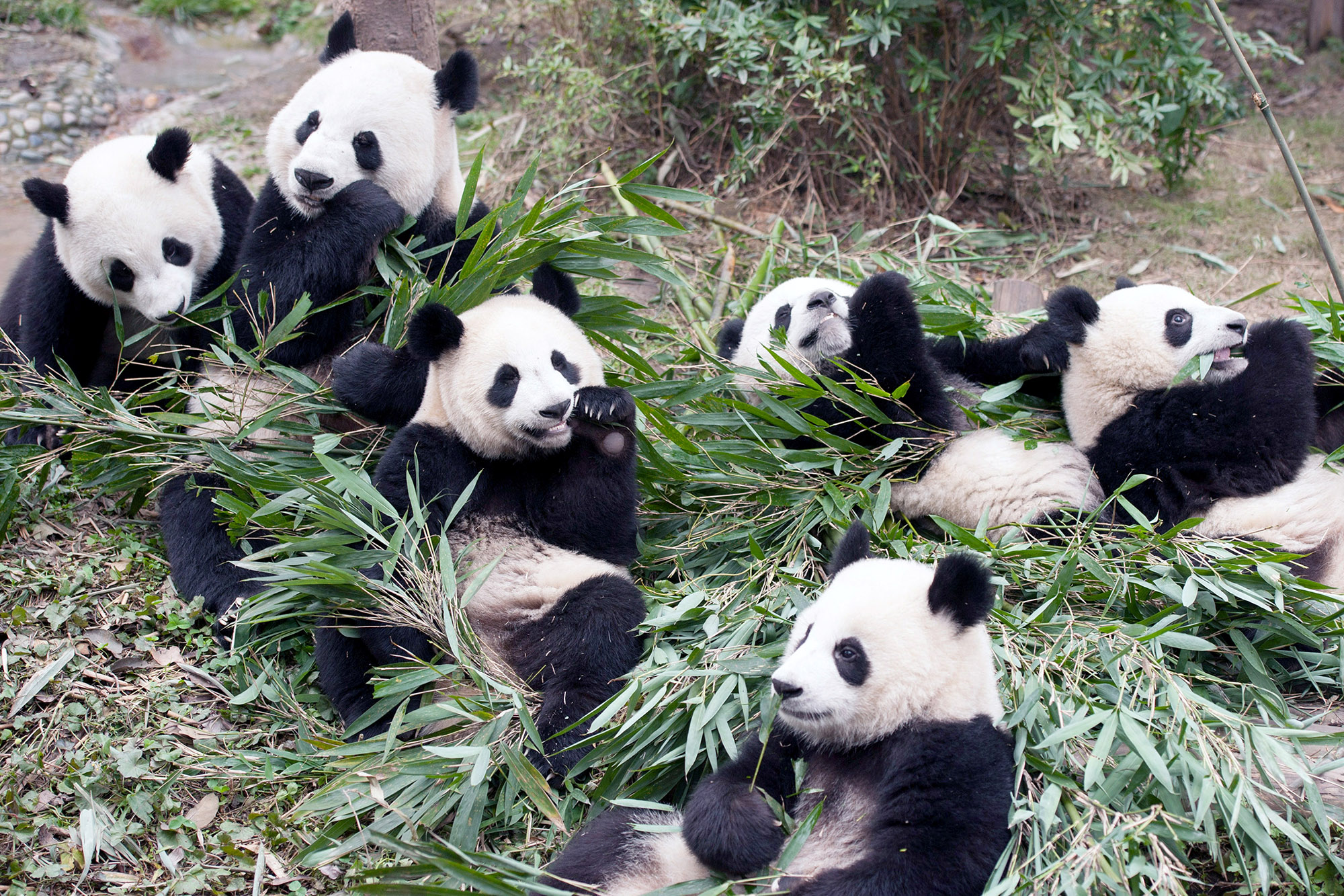 These cuddly pandas are more dangerous than they look