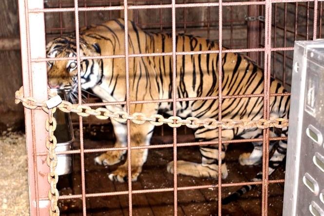 Famous Apartment Tiger Dead