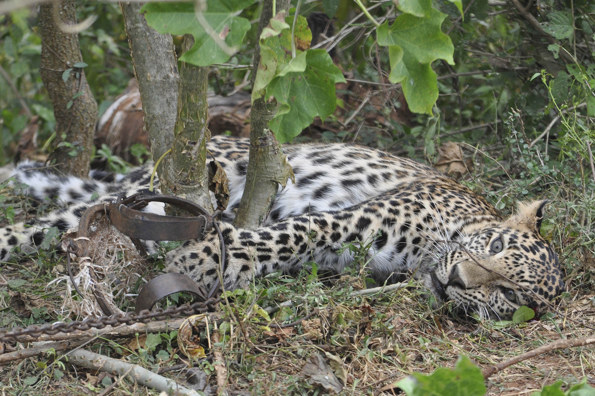 Coronavirus lockdowns enhance poaching in Asia, Africa