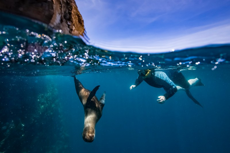 Galapagos sea lion swimming at Guy Fawkes Islets