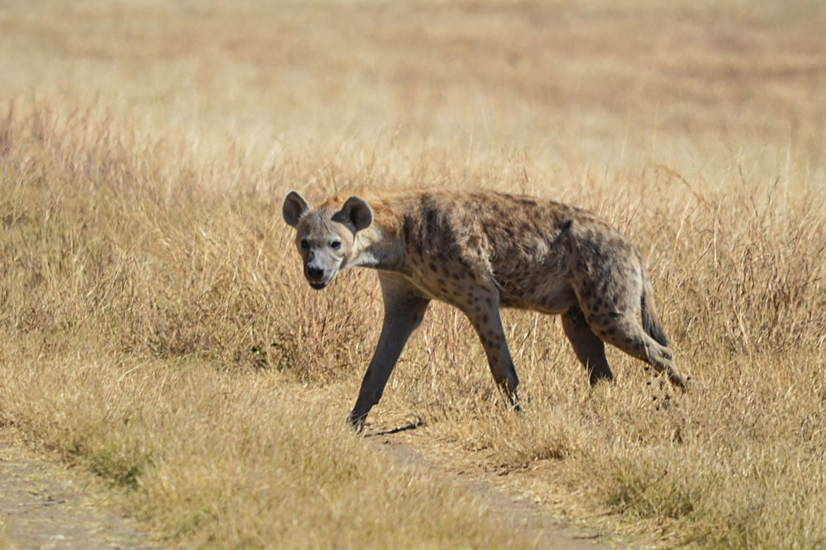 Pack of hyenas drag sleeping elderly man from hut and maul him to death 1