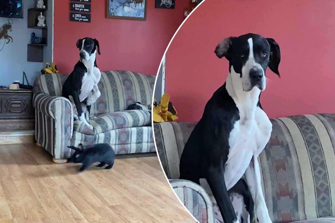 100-pound Great Dane is scared of a bunny 1