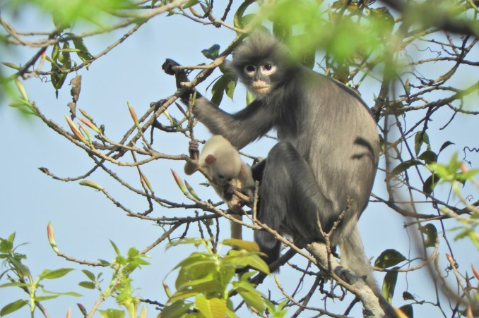 Newly discovered monkey species, Popa langur, faces extinction