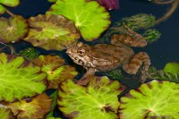 'Noisy' frogs to be evicted from pond, French judge rules