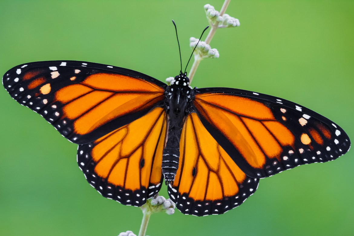 Monarch butterfly may be added to endangered species list 1