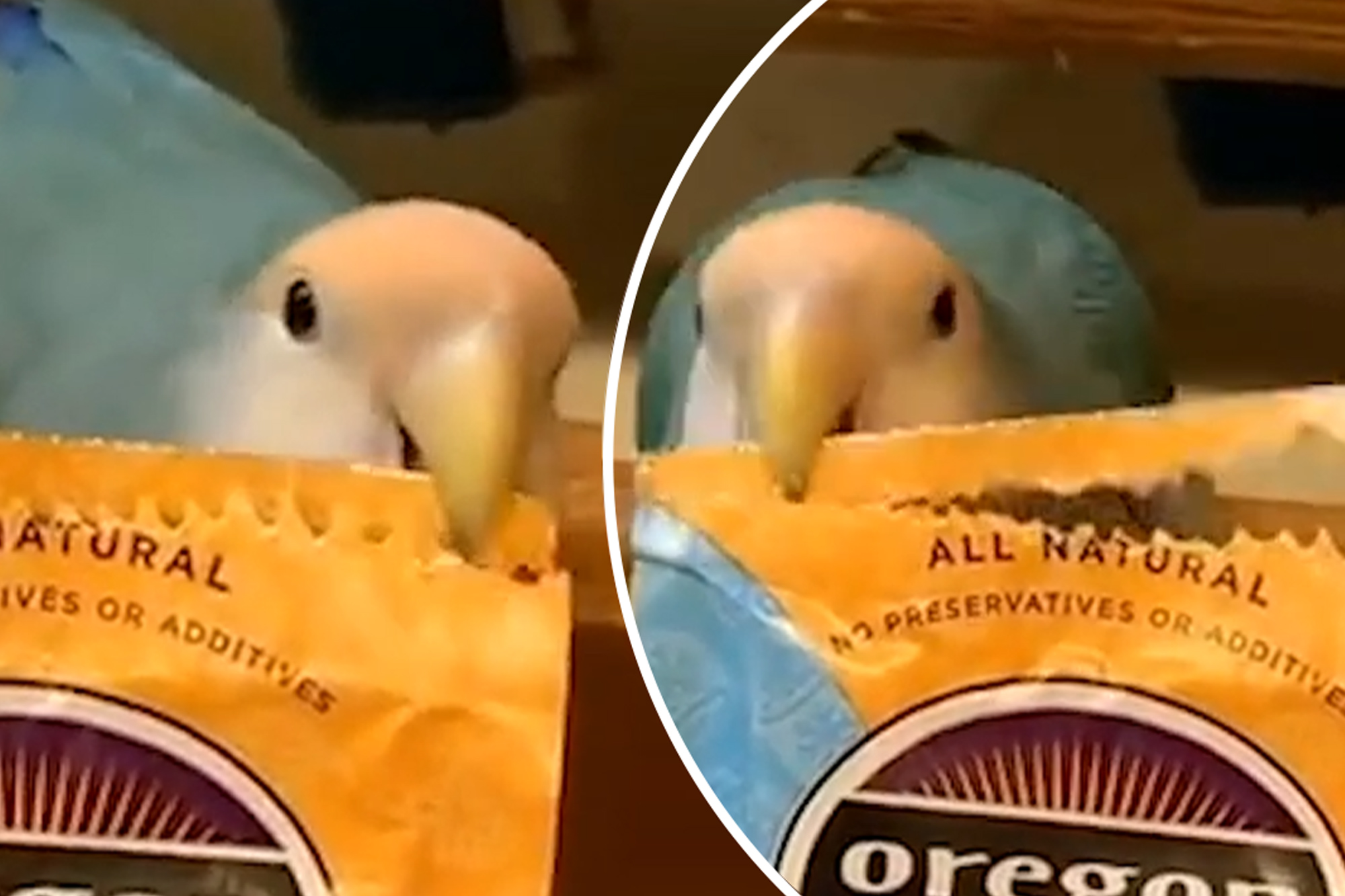 Parrot replaces scissors in this house
