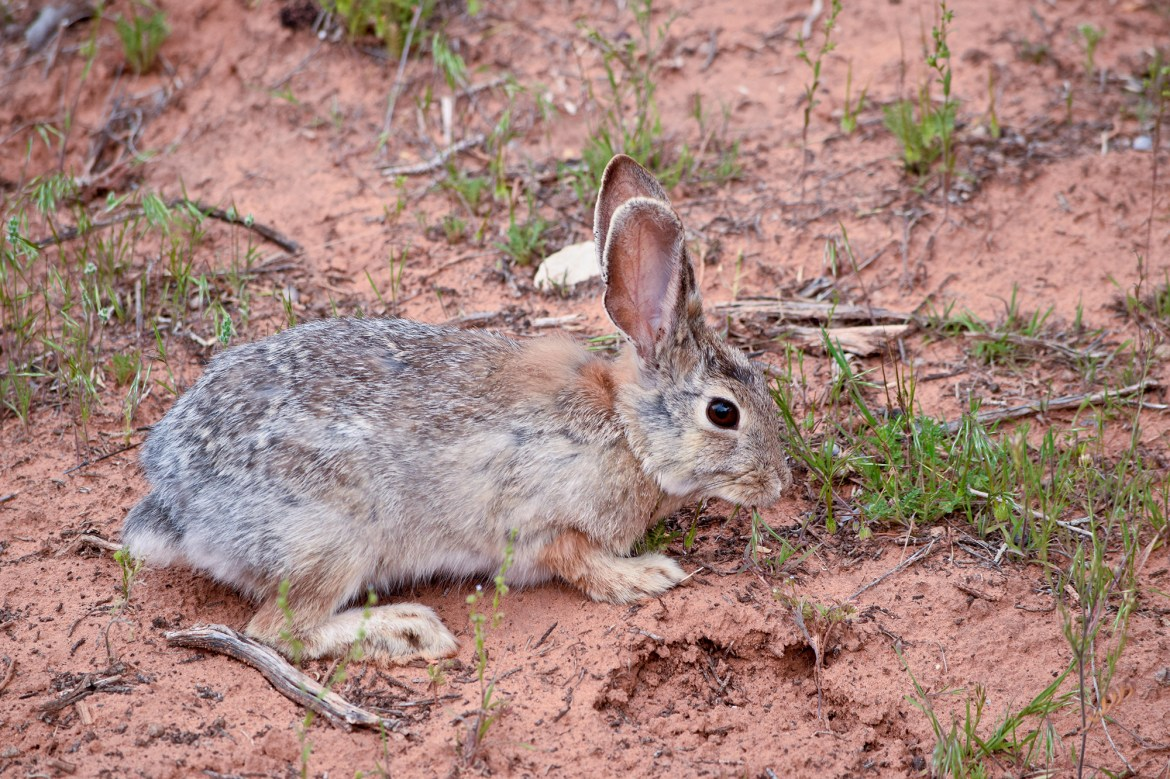 Utah officials warn of outbreak of highly contagious rabbit  disease 1