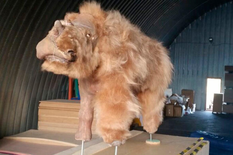 Extinct woolly rhinoceros found frozen in Siberian permafrost 1