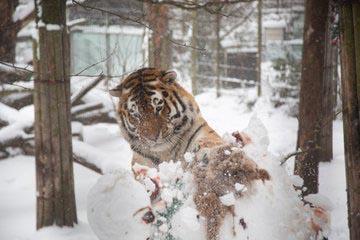Siberian tiger 'attacks' snowman at Finland zoo 1
