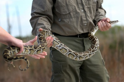 wildlife handler holding a Burmese python