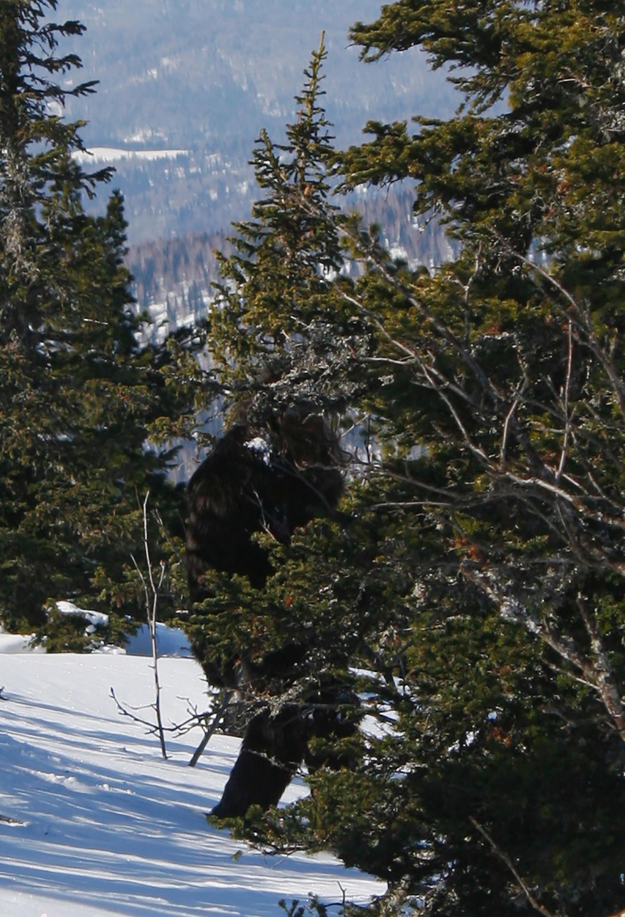 Yeti avistado por Alexander Chudanov em 27 de março de 2011, em Tashtagol, região de Kemerovo