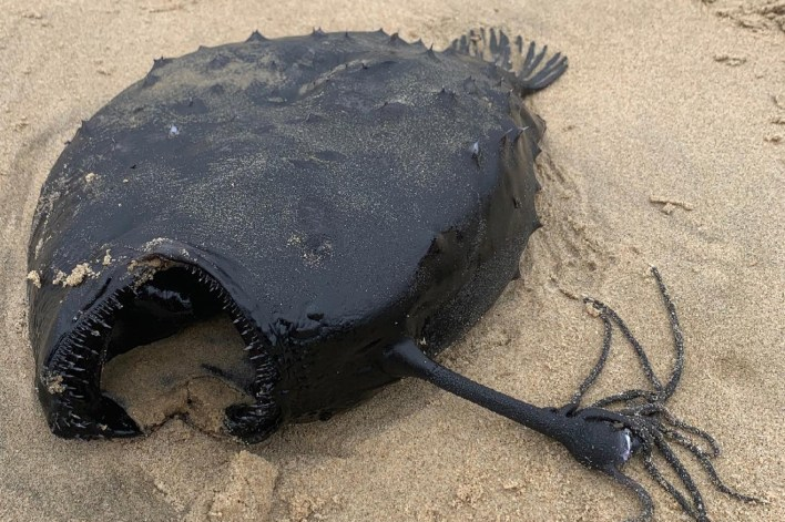 The deep-sea Pacific footballfish was found on the beach at Crystal Cove State Park.