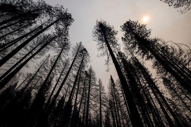 Caldor's burning trees are printed against the smoky sky in Grazie Flats, California on Tuesday, August 17, 2021.