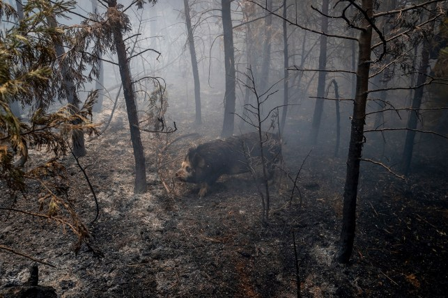 On Tuesday, August 17, 2021, a hog passes through the ashes of a Caldore fire in Grizzly Flats, California.