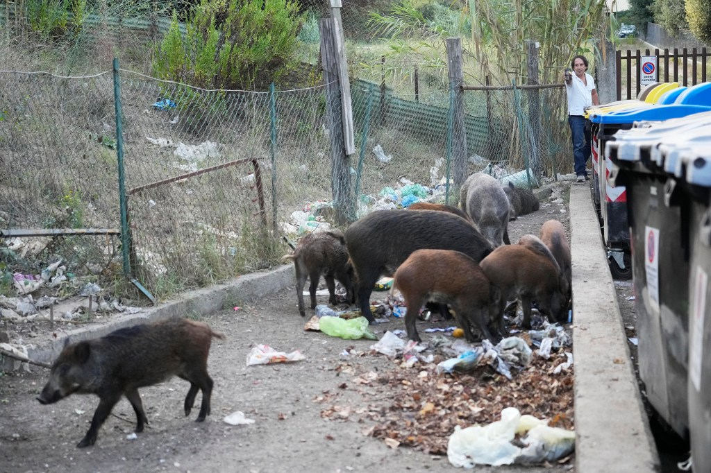 """One resident is """"afraid"""" to walk on the sidewalk due to the number of wild boars in her town."""