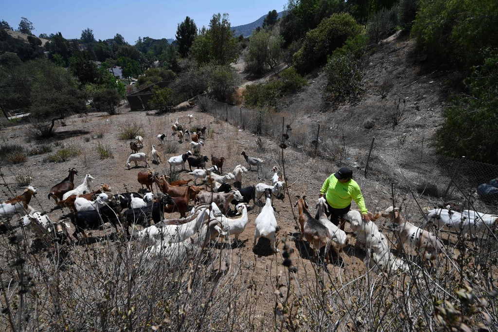 Goats eat vegetation to reduce potential fuel for wildfires, July 7, 2021, in the wildland/urban interface in Glendale, California.