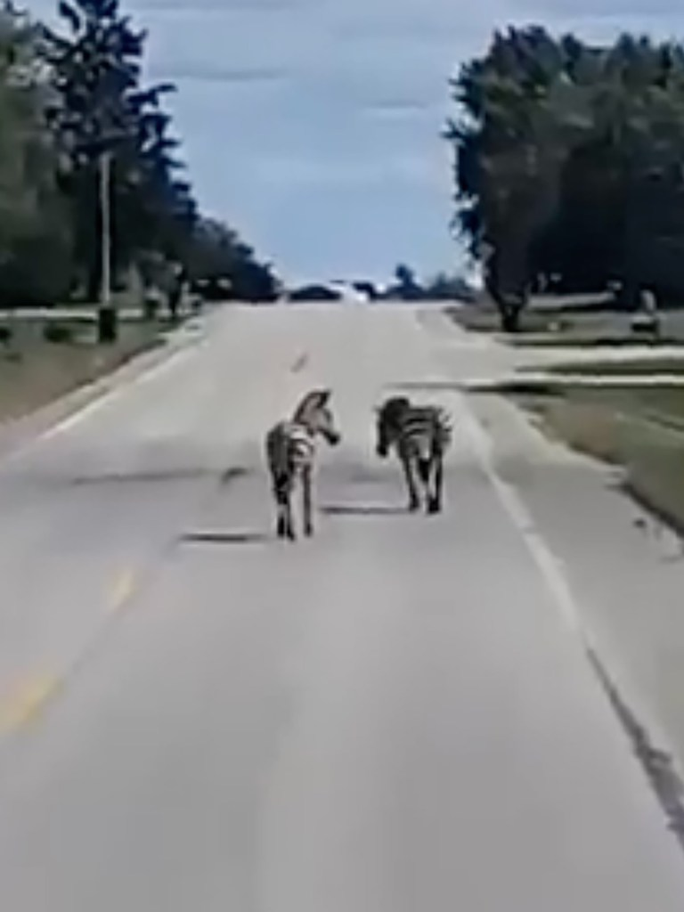 """African equines may look cuddly, but be warned: """"Zebras do bite."""""""