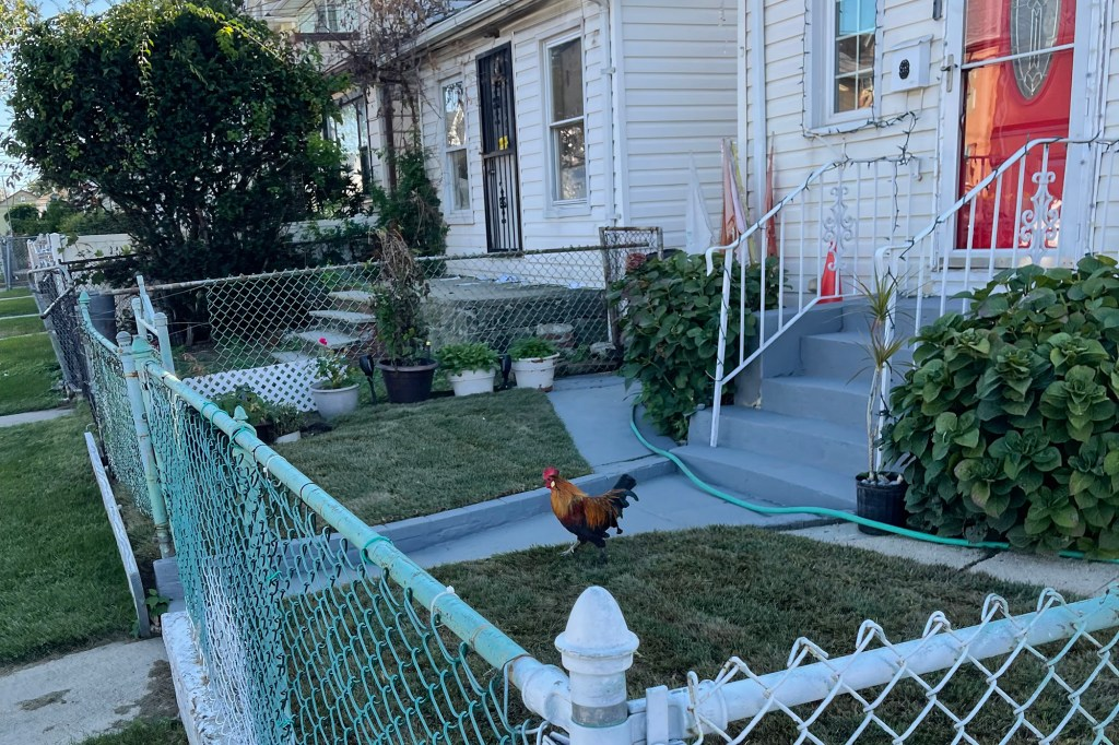 A rooster has terrorized a Queens neighborhood.