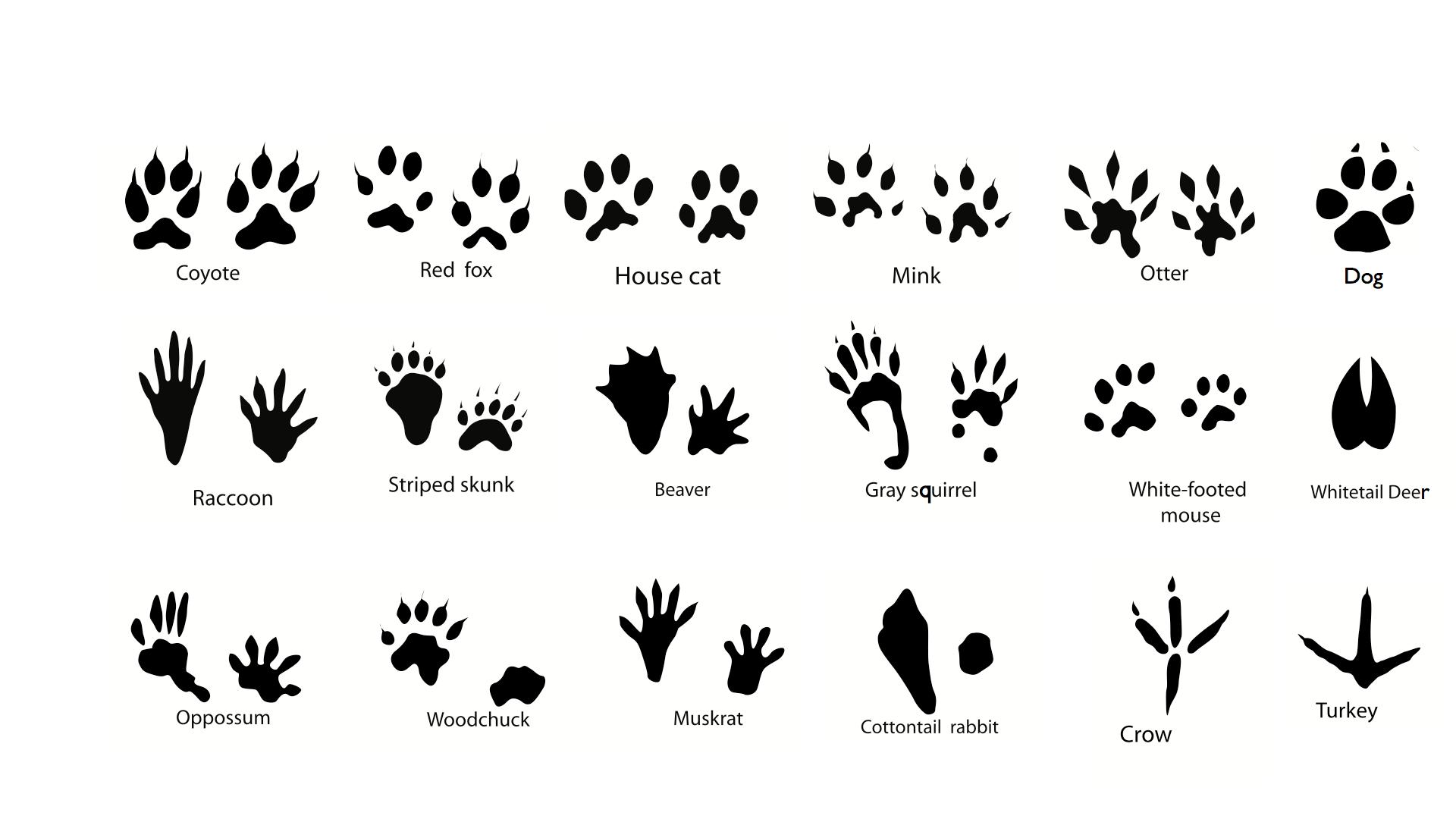Deciphering Winter Animal Tracks