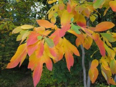 Sassafras leaves changing color in Ganondagan State Historic Site. Xanthophylls and carotenoids are what make up the yellow and orange colors respectively and anthocyanins are responsible for the pink color seen in these leaves. Photo by Tom Hughes.