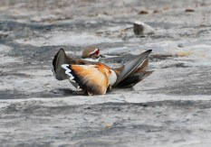 Killdeer in the wounded wing posture, Suzanne Britton, http://ironphoenix.org/gallery
