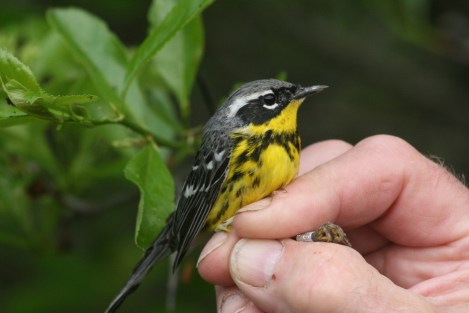 Male Magnolia Warbler with a band, photo by Ellie George, c 2010