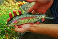 Rainbow trout, photo taken and owned by DaveWiz84, https://en.wikipedia.org/wiki/Kern_River_rainbow_trout#/media/File:Kern_River_Rainbow_Trout.jpg