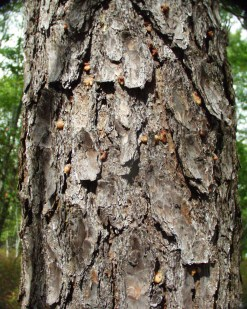 On the trunk of infested trees, the main symptom of southern pine beetle attack is an abundance of pitch tubes which are usually about the same size and color of popcorn. Photo credit: NYS DEC