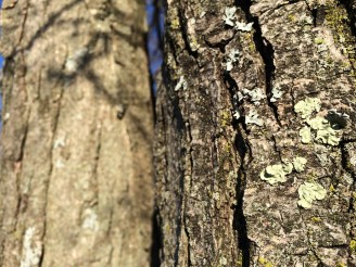 Stepping back to admire a mix of foliose lichens (grey and light-green), crustose lichen (small golden speckles), and moss (dark green) on the same tree trunk at Thacher State Park. (Photo by Erin Lennon, NYS Parks)