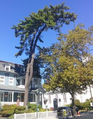 white pine on broadway Elijah Reichlin-Melnick