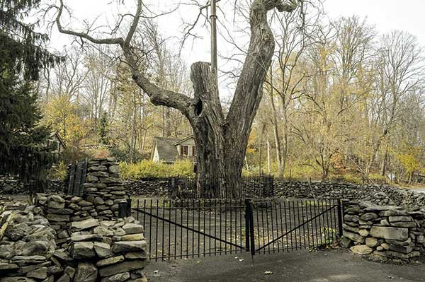 What was left of the Balmville tree before the takedown last August. Photo by David Cunningham