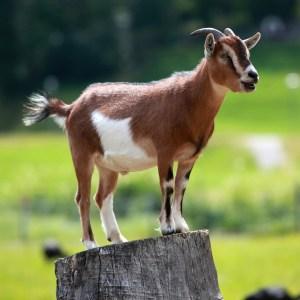 goat Hausziege_04