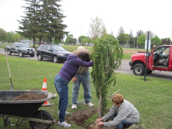 Planting the weeping larch in Perry's Village Park