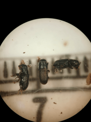 adult-southern-pine-beetle-molly-hassett-dec