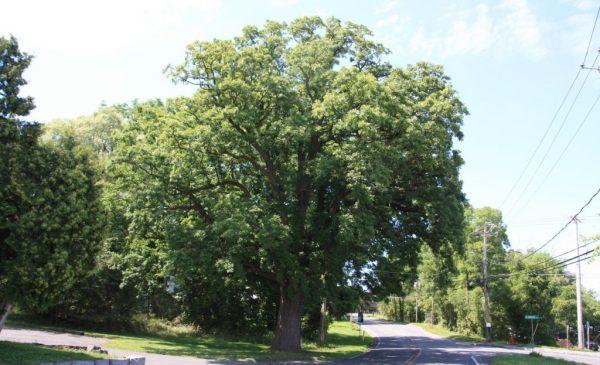 bur oak in DeWitt