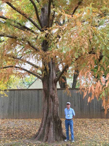 State champion dawn redwood Tulsa Woodward arboretum