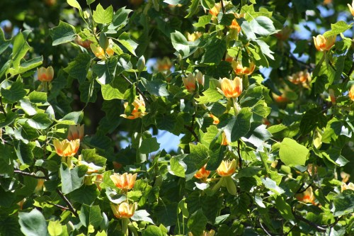 tuliptree leaves and flowers Steve Cothrel