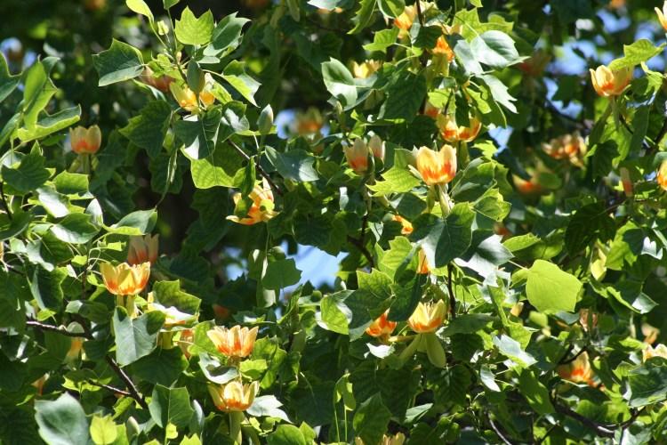 tuliptree leaves and flowers Steve Cothrel