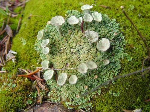 USFS trumpet lichen cladonia_fimbriata_lg