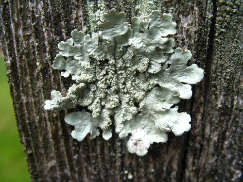 awesome lichen