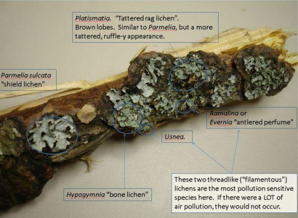 lichen-id1