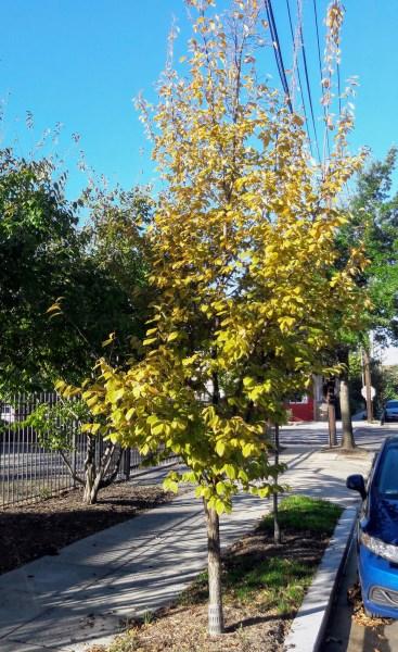 OV_street_tree