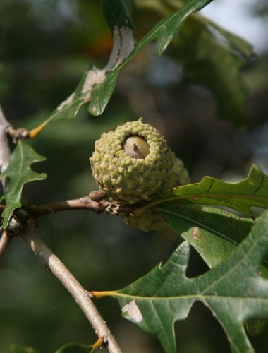 Overcup oak acorn Chris Evans, University of Illinois, Bugwood.org