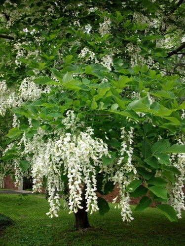 yellowwood flowers Michelle Sutton