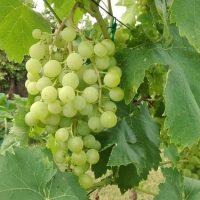 Zöldmunkák a szőlőben