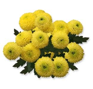 pompon virágú krizantém