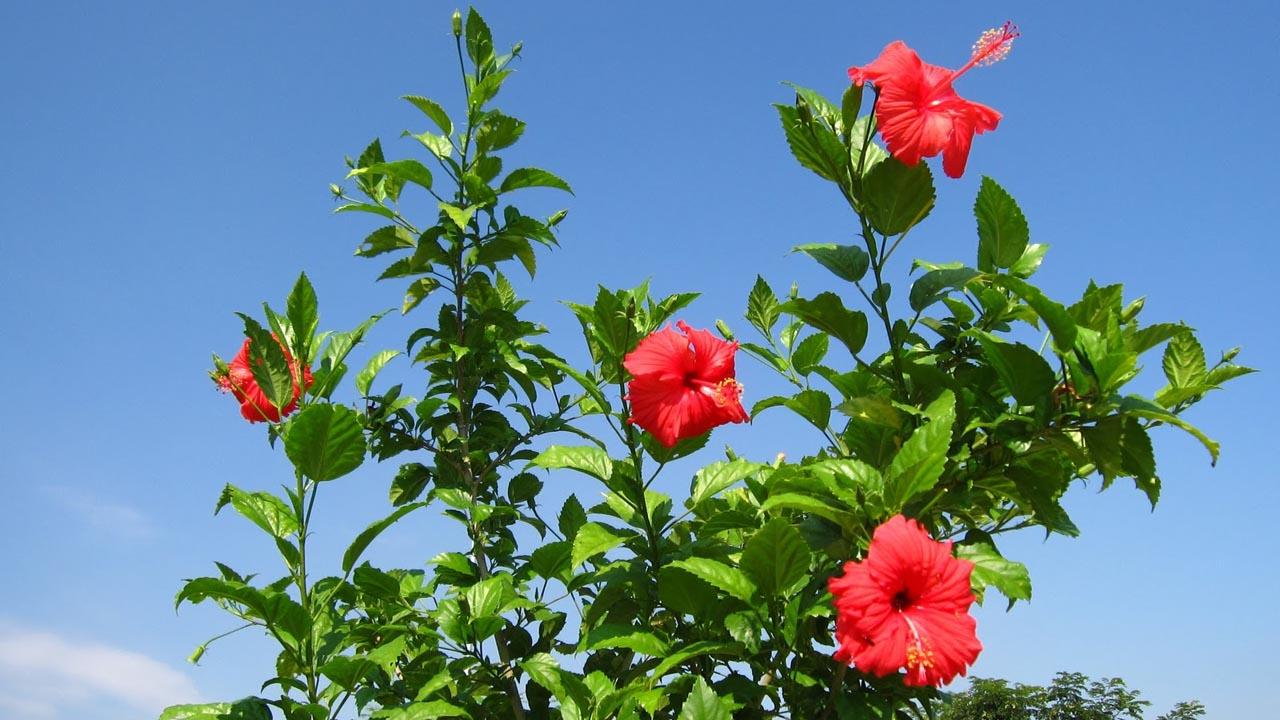 Virágzó cserjék szaporítása